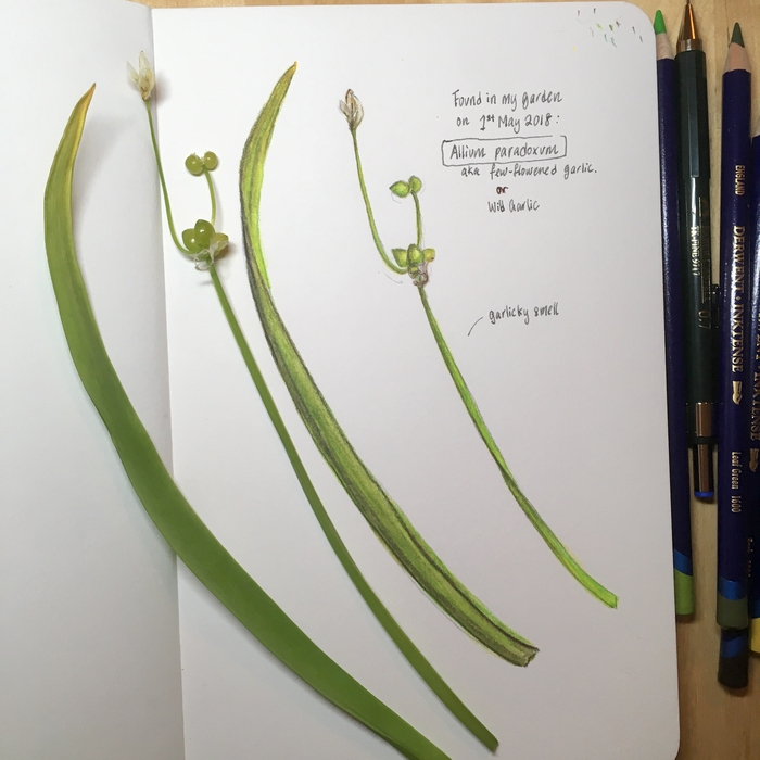 Wild Garlic; Derwent Inktense watercolour pencil